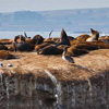 California sea lions blanket Ano Nuevo Island during the summer