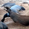 Birth of a northern elephant seal pup