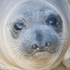 Weanling northern elephant seal
